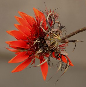 E.variegata