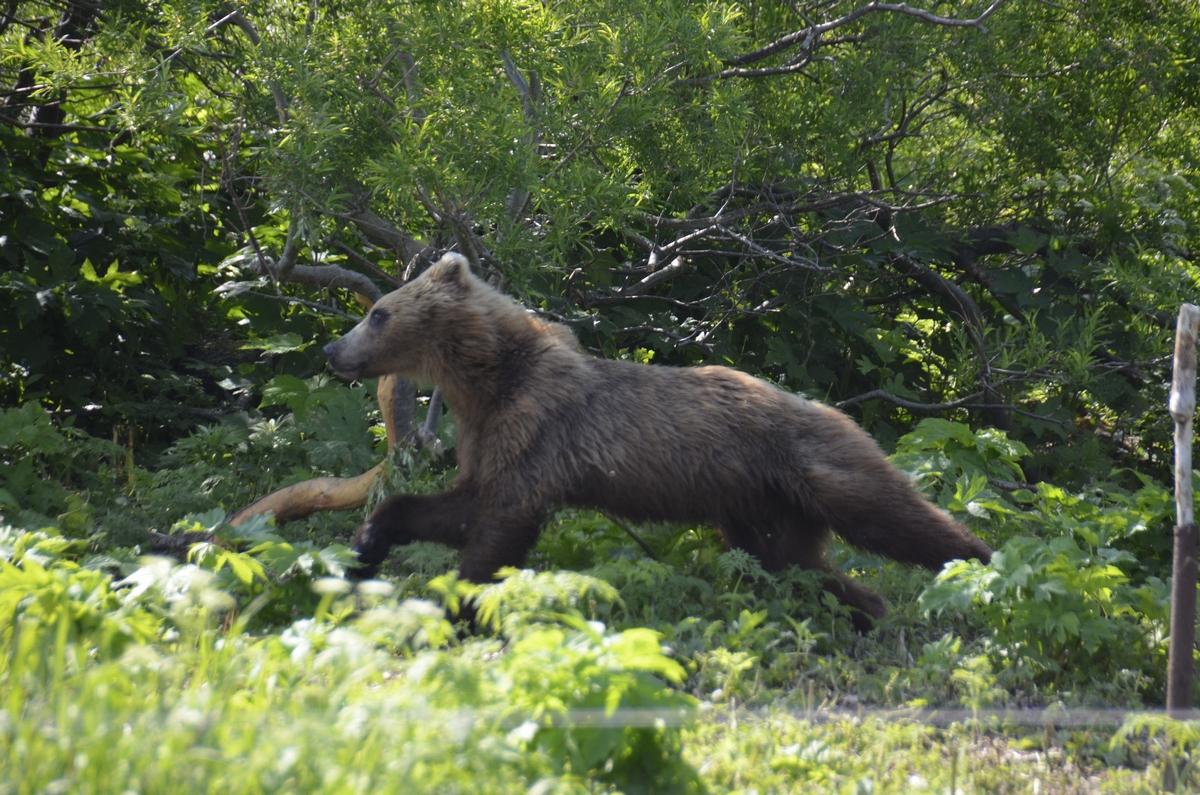 Камчатский медвед