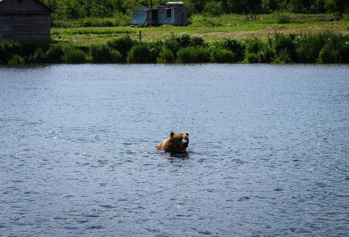 kamchatka-bears-4