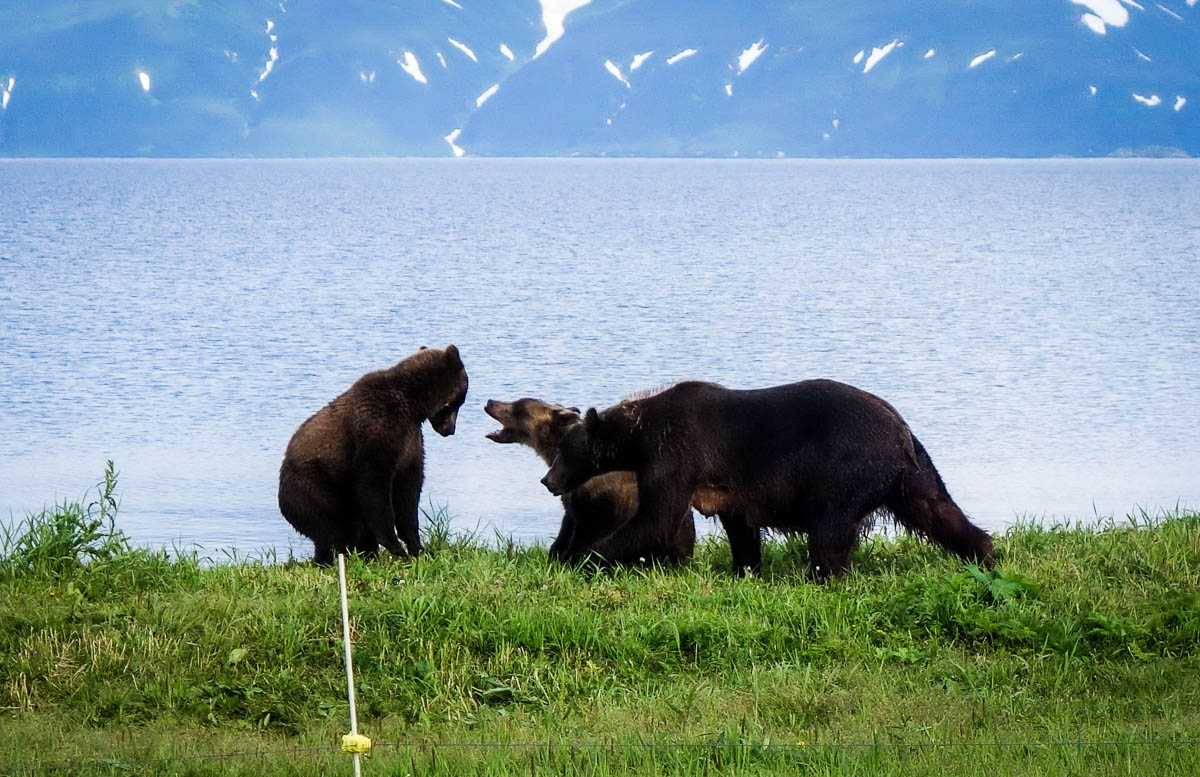 kamchatka-bears-29