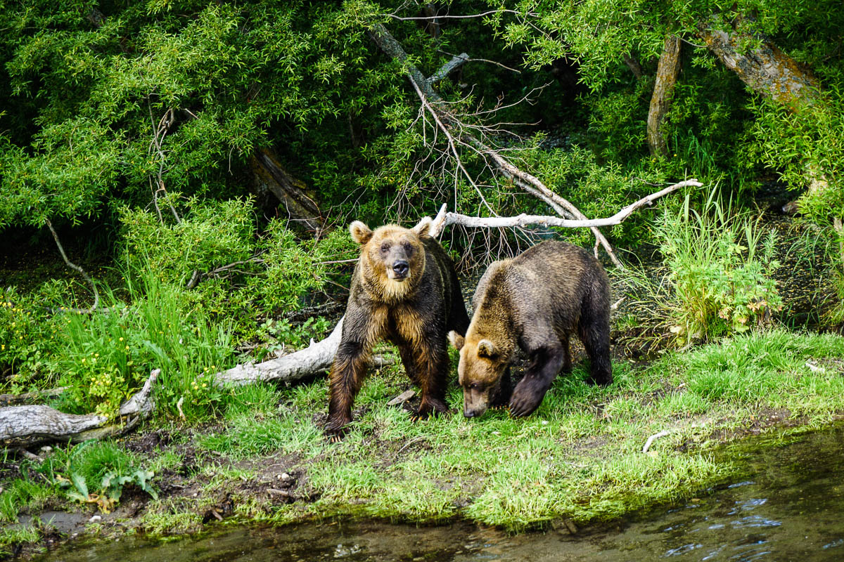 kamchatka-bears-33