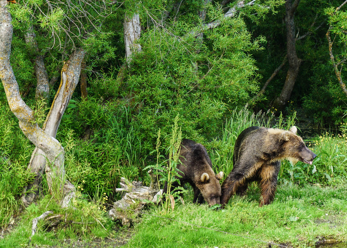 kamchatka-bears-47