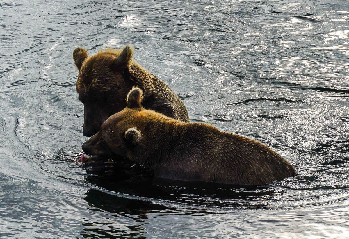 kamchatka-bears-57