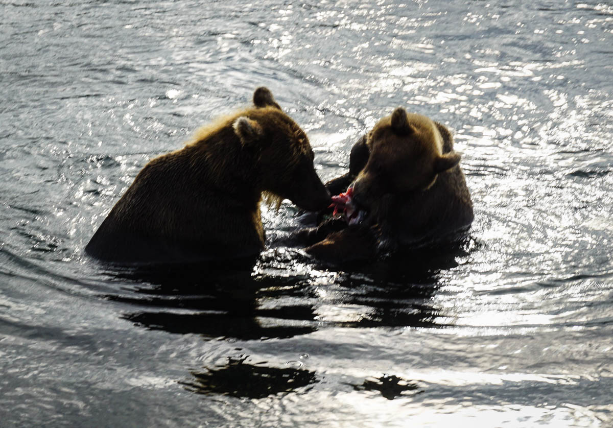 kamchatka-bears-58