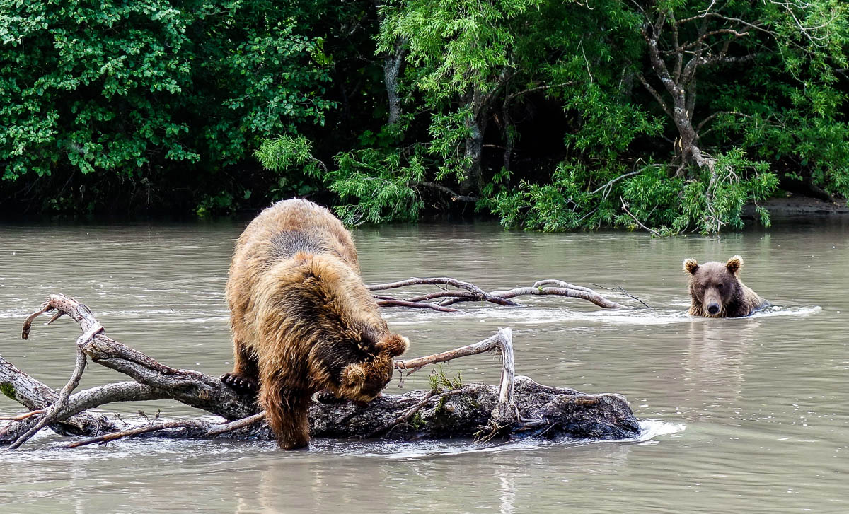 kamchatka-walk-with-bears-2