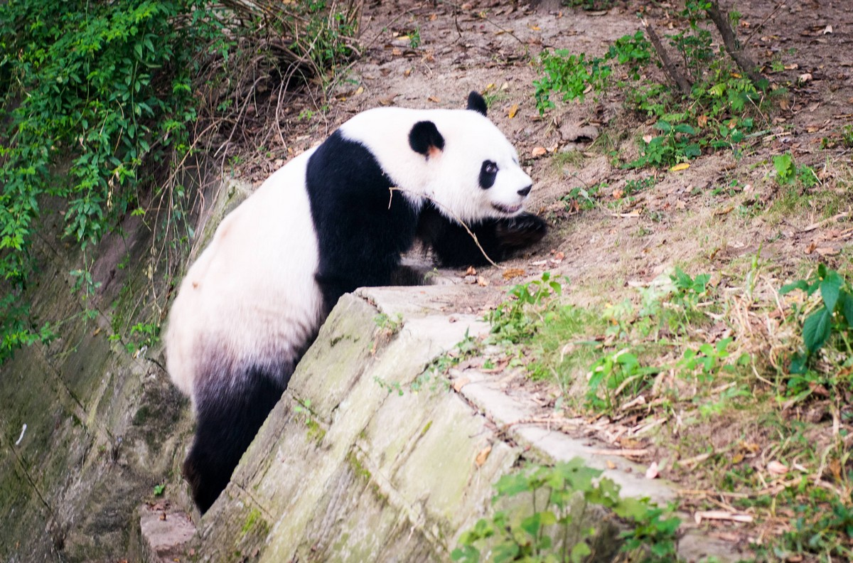 panda-changdu-china-4