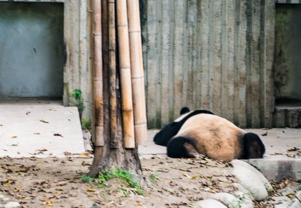 panda-changdu-china-14