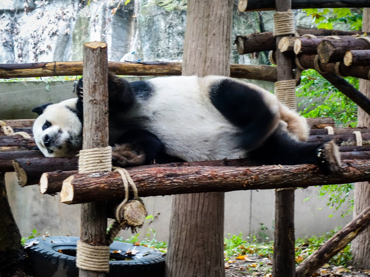 panda-changdu-china-15