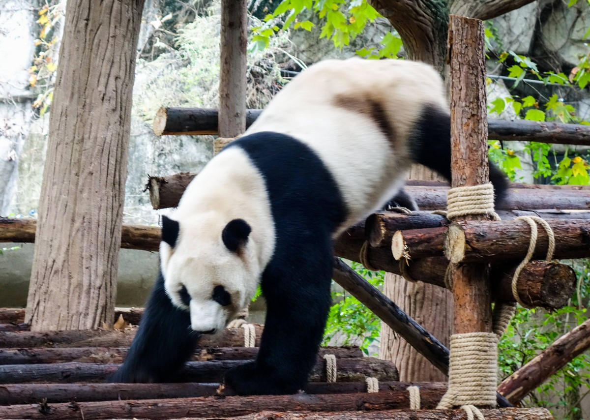 panda-changdu-china-16