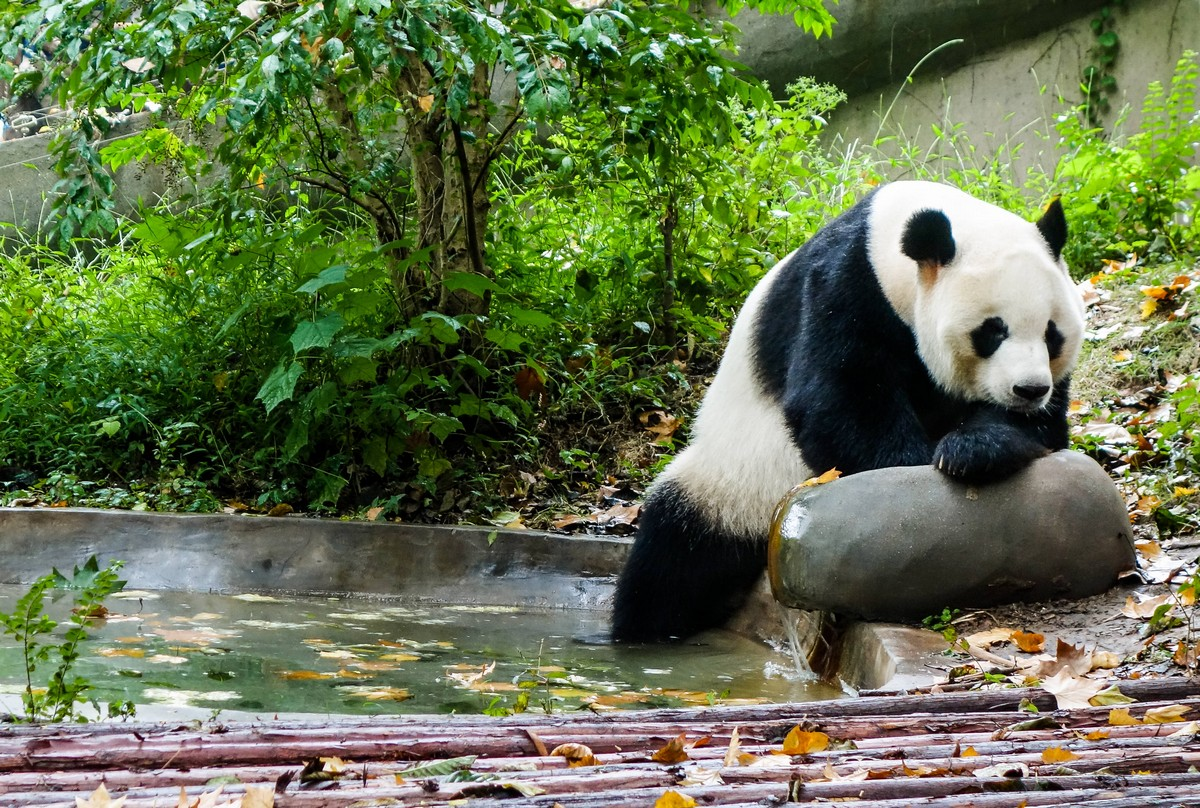 panda-changdu-china-17