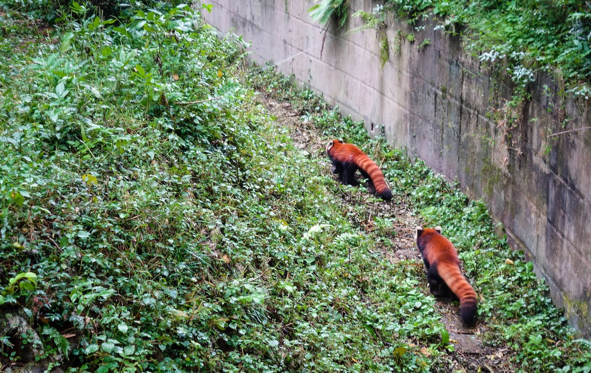 panda-changdu-china-21