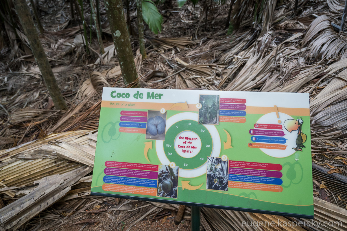 seychelles-coconut-6