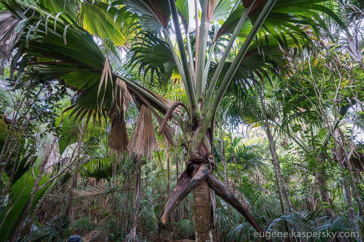 seychelles-coconut-8