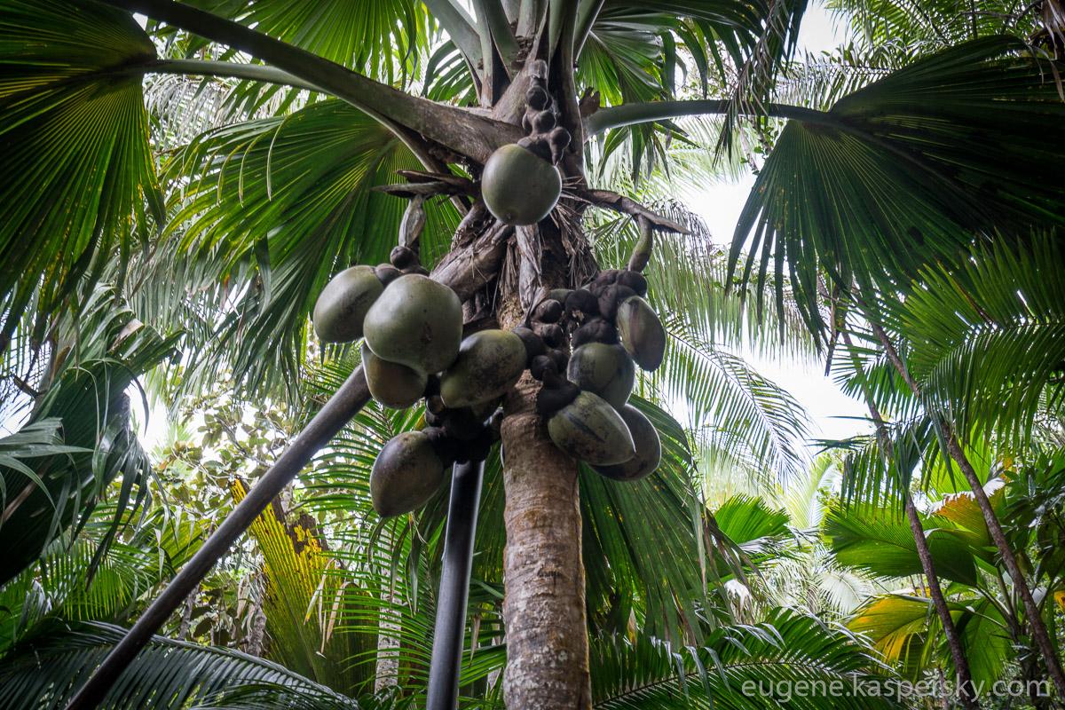 seychelles-coconut-9