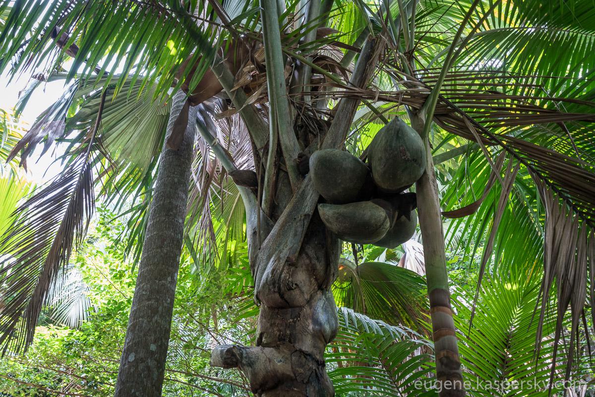 seychelles-coconut-13