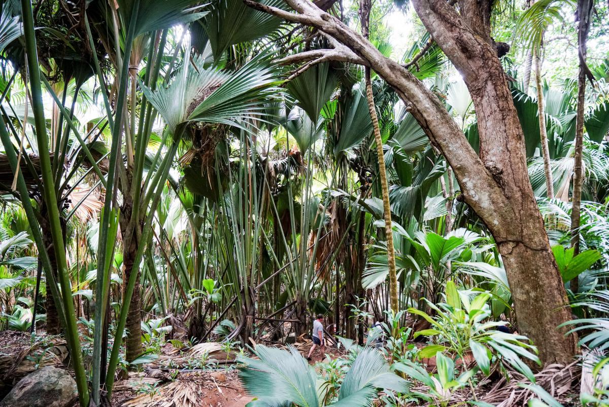 seychelles-coconut-17