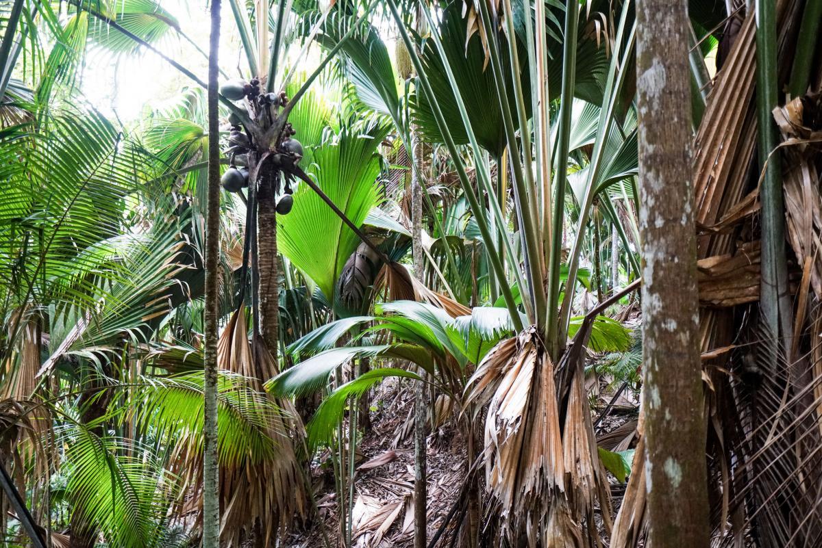 seychelles-coconut-23