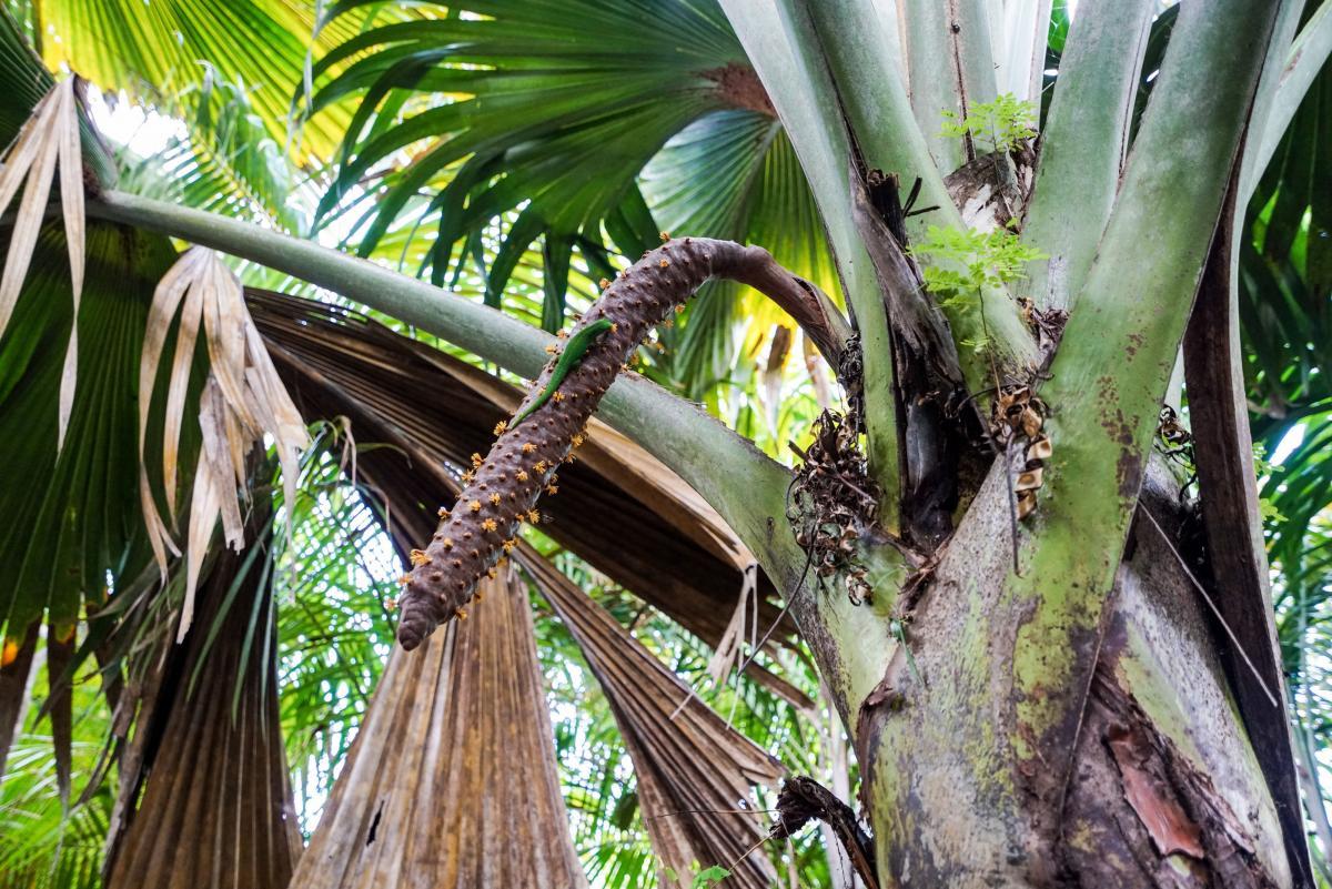 seychelles-coconut-33