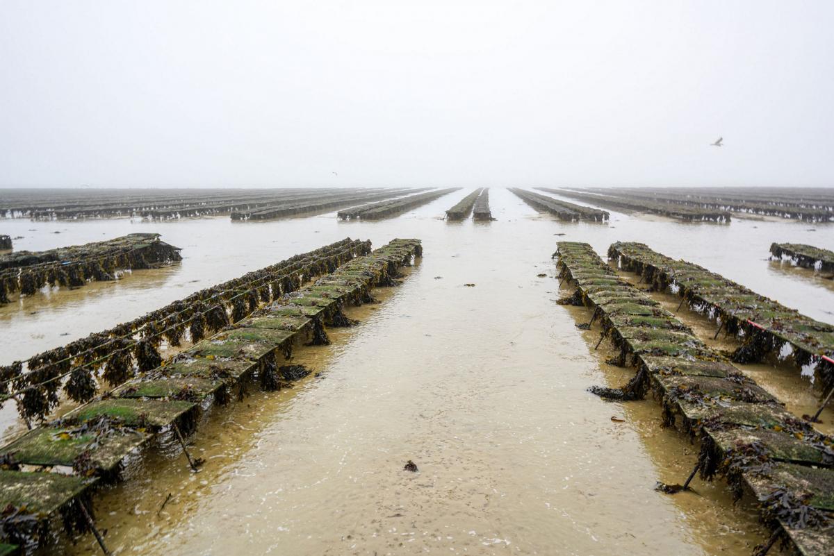 jersey-uk-oyster-farm-8