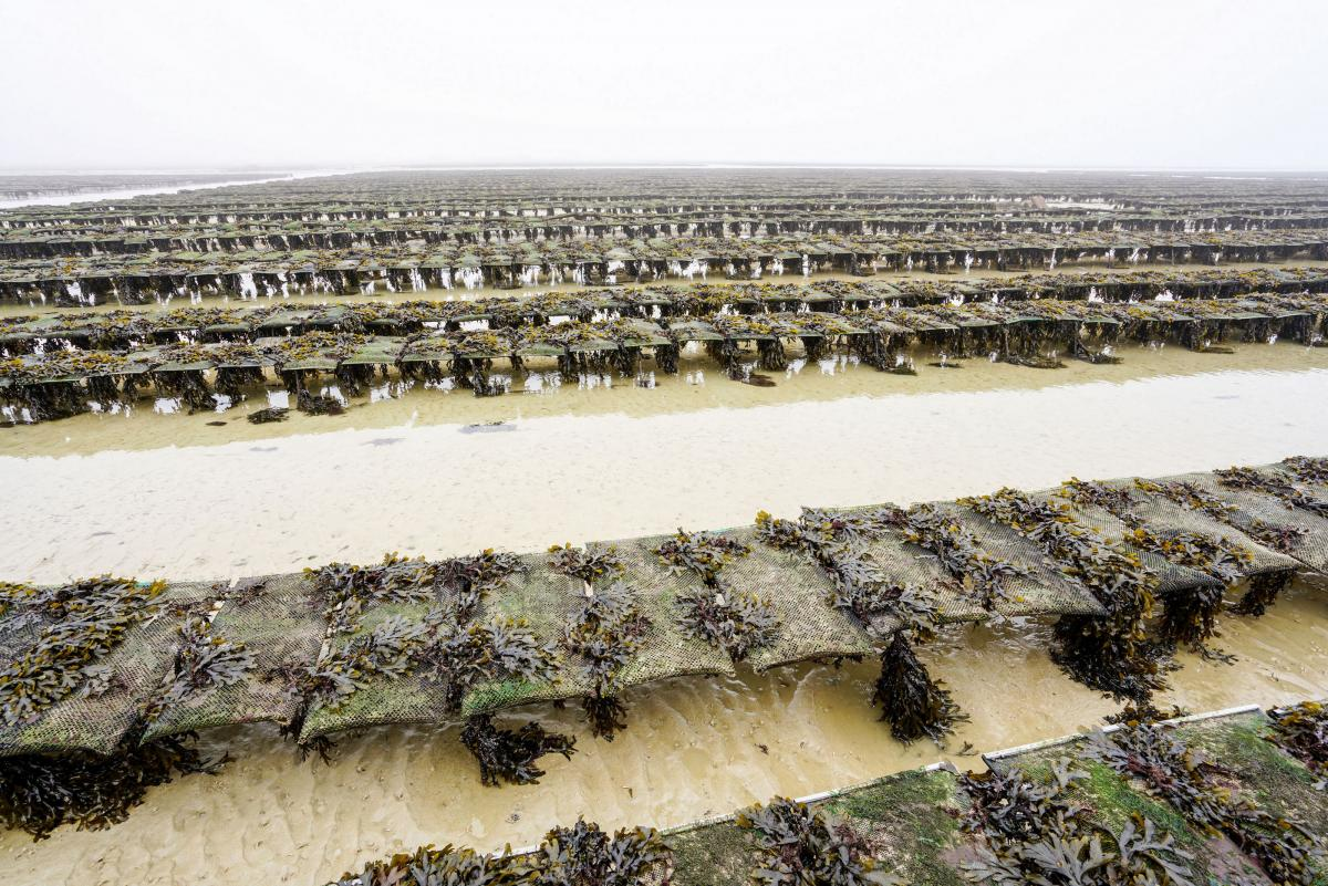jersey-uk-oyster-farm-9
