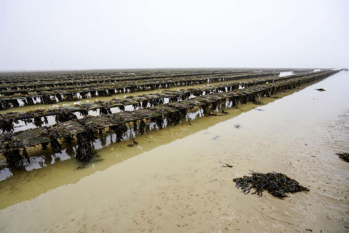 jersey-uk-oyster-farm-10