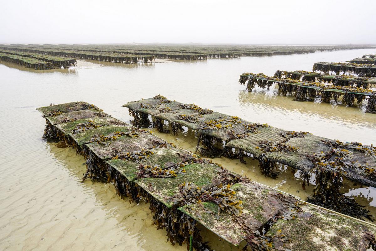 jersey-uk-oyster-farm-11