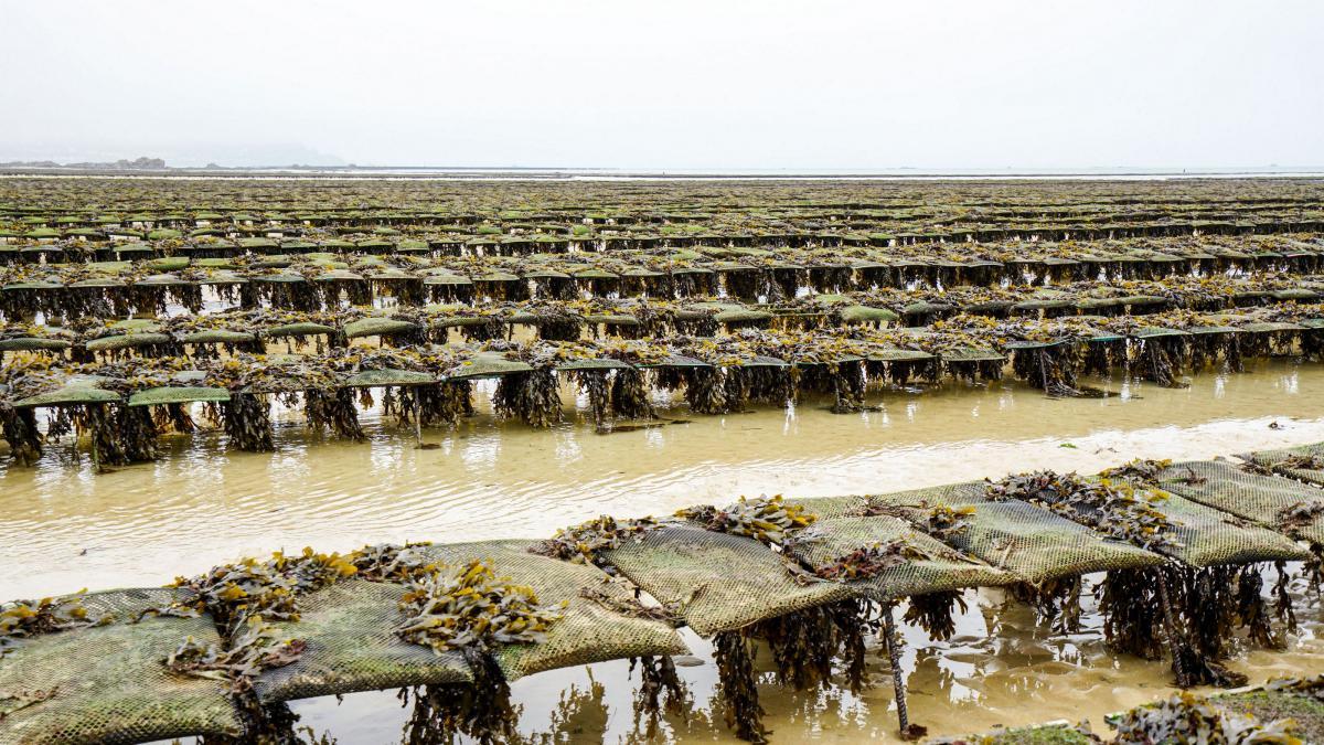 jersey-uk-oyster-farm-11-3
