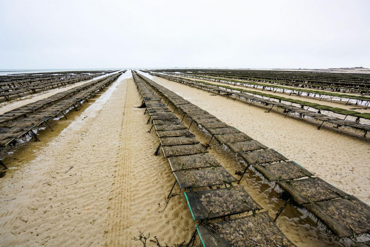 jersey-uk-oyster-farm-19