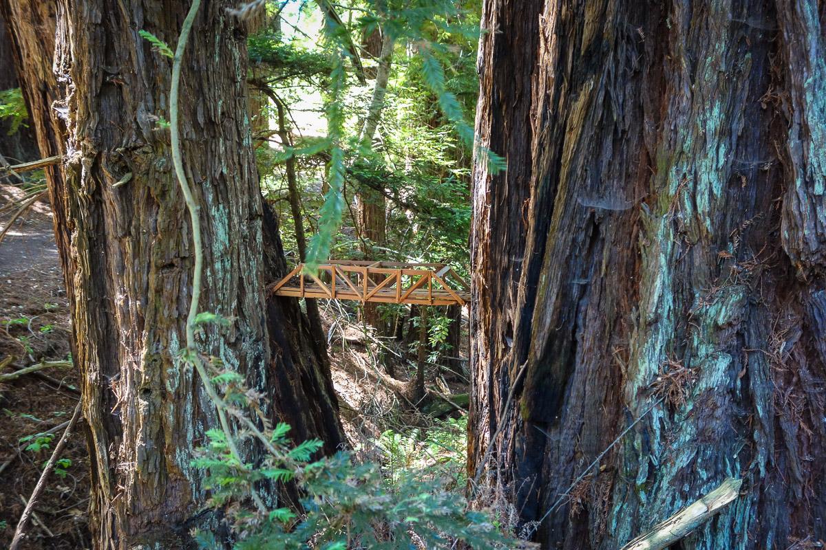 Sequoia Redwood1