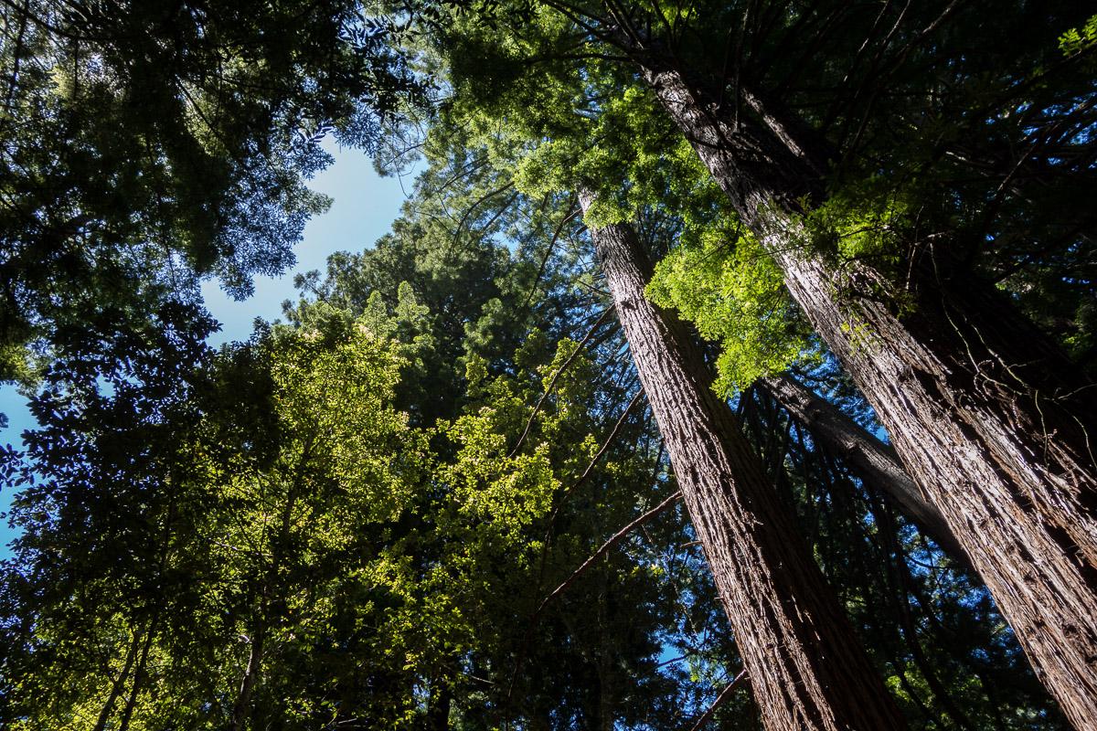 Sequoia Redwood2