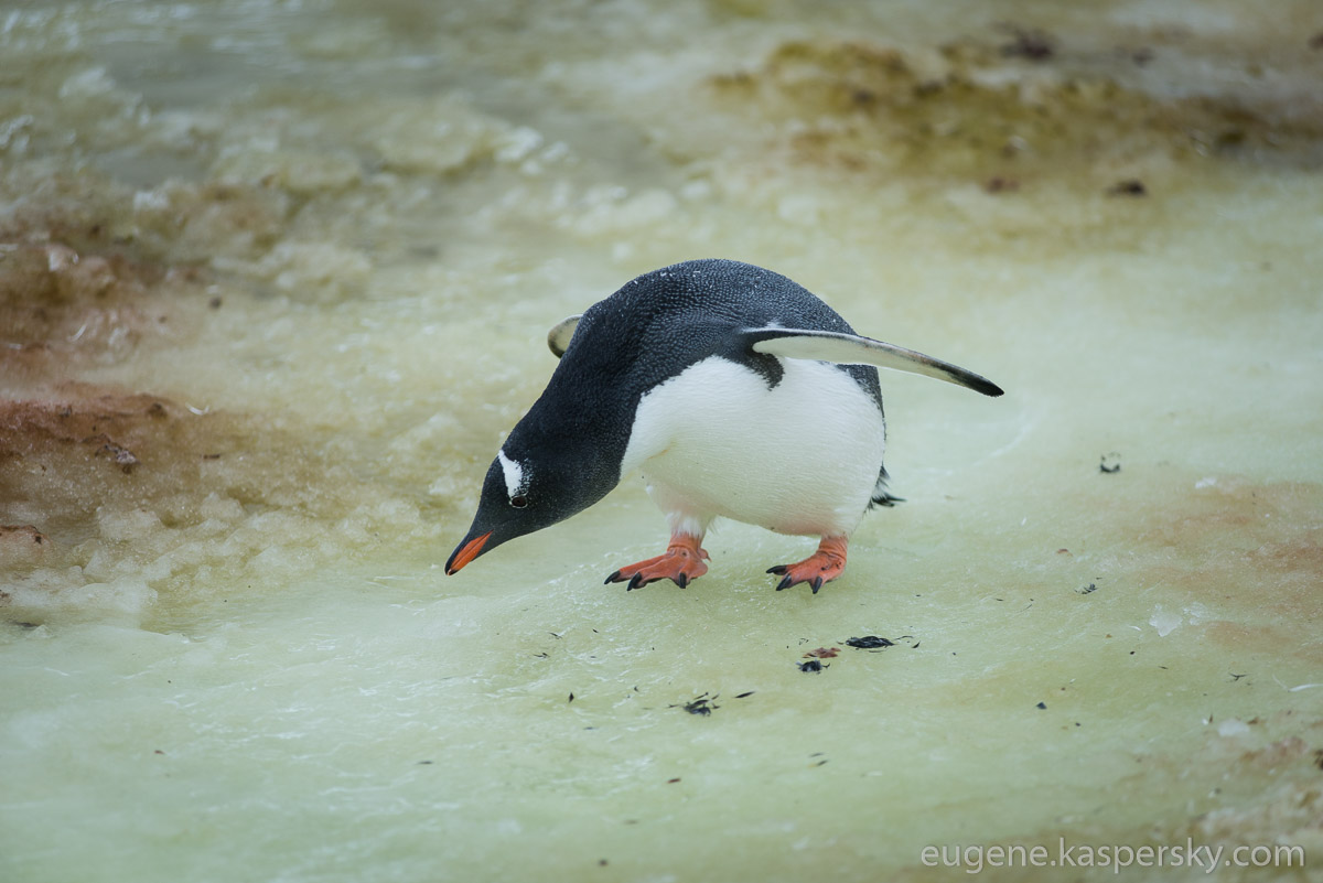 antarctica-penguins-5