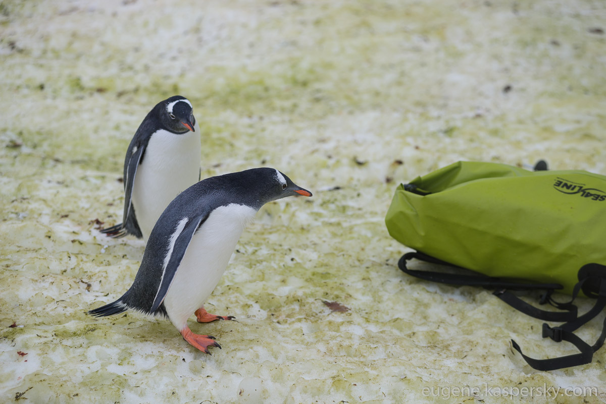 antarctica-penguins-7