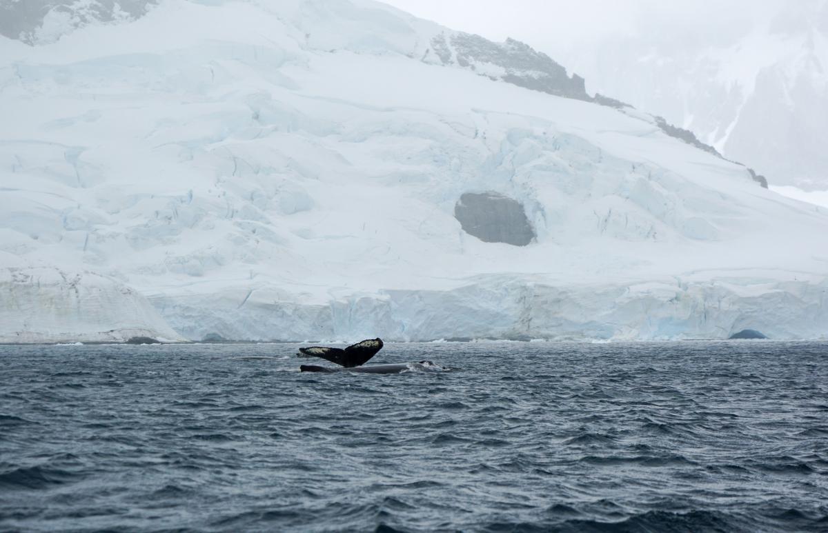 antarctica-whales-3
