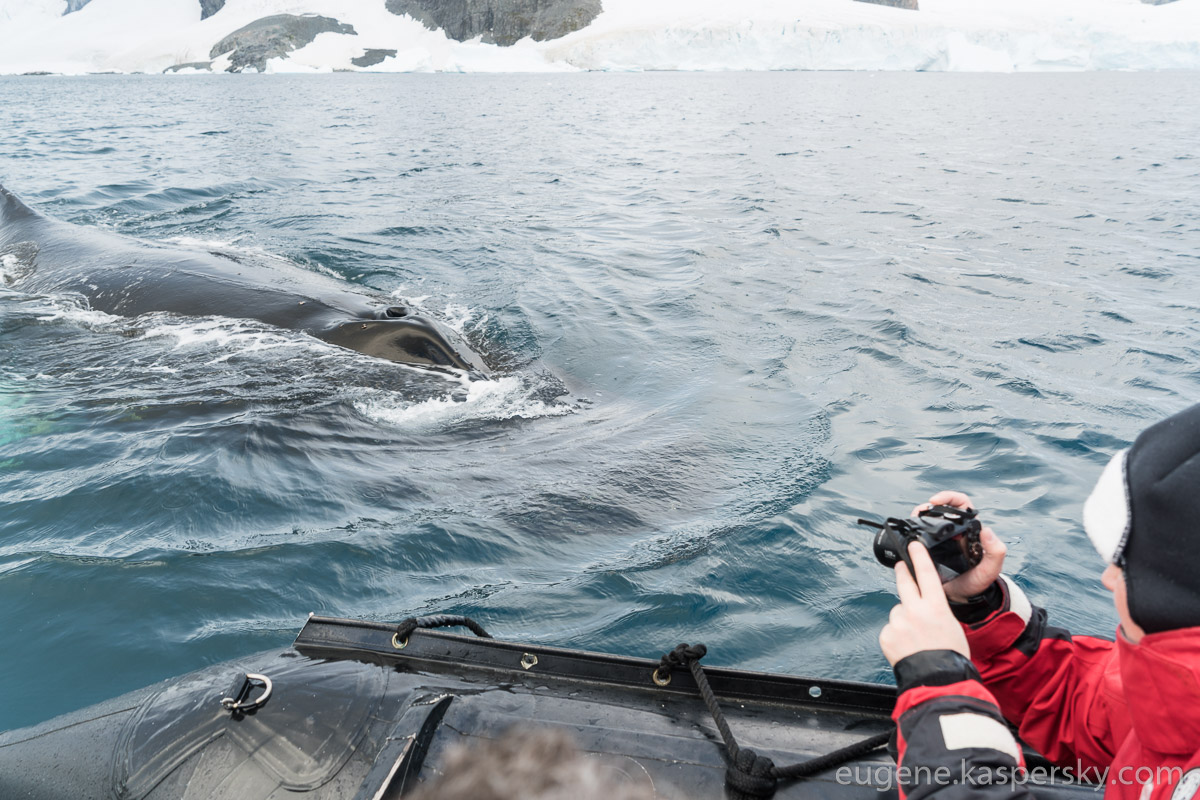 antarctica-whales-6