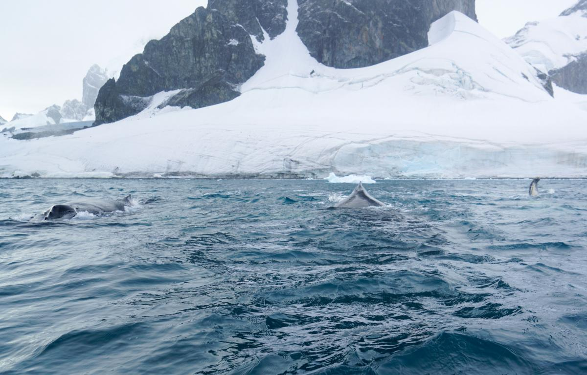 antarctica-whales-9