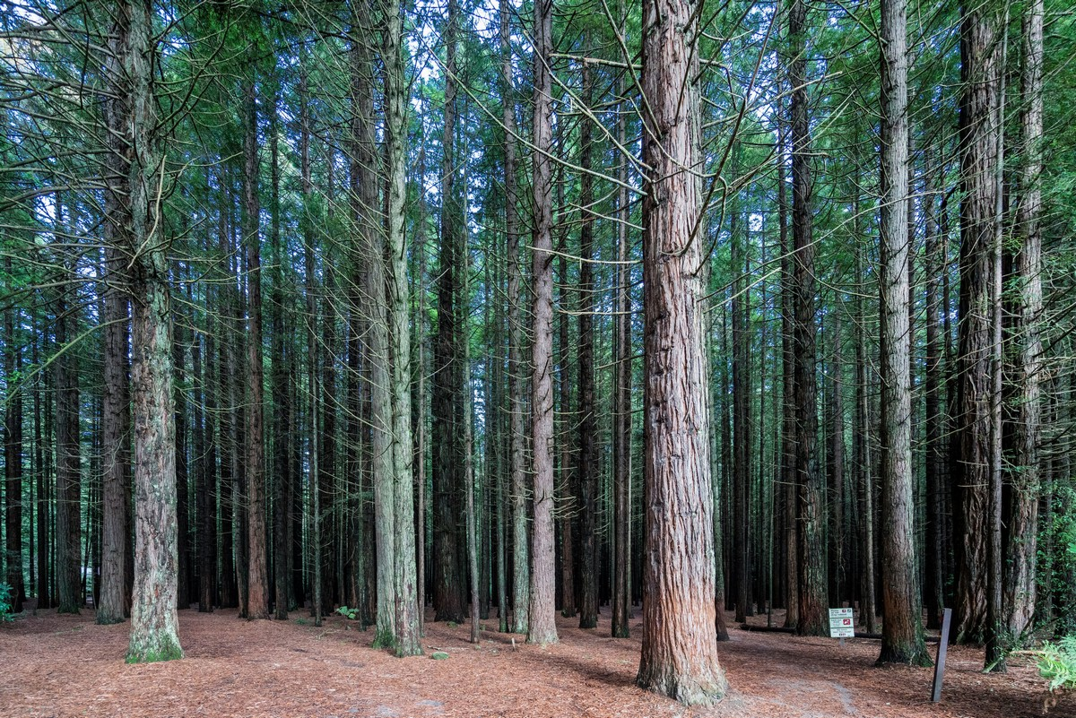 new-zealand-redwoods-park-1