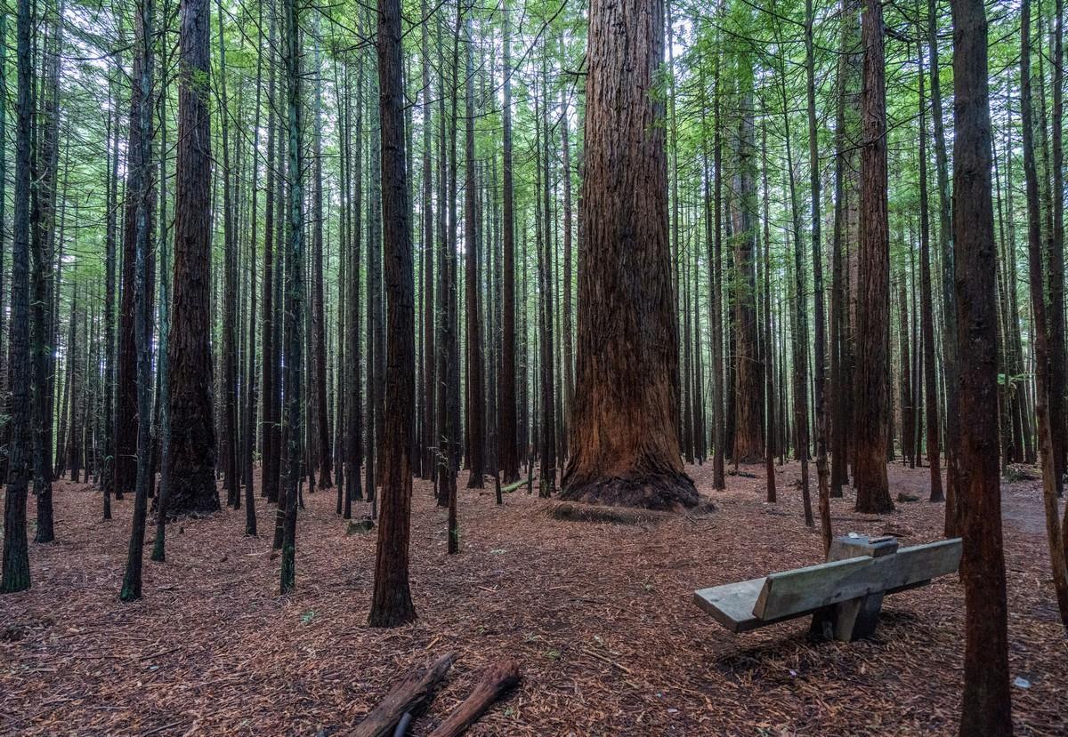 new-zealand-redwoods-park-2