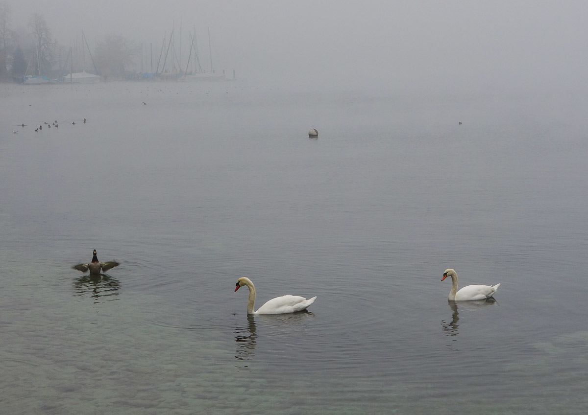 lucerne-switzerland-swans-1