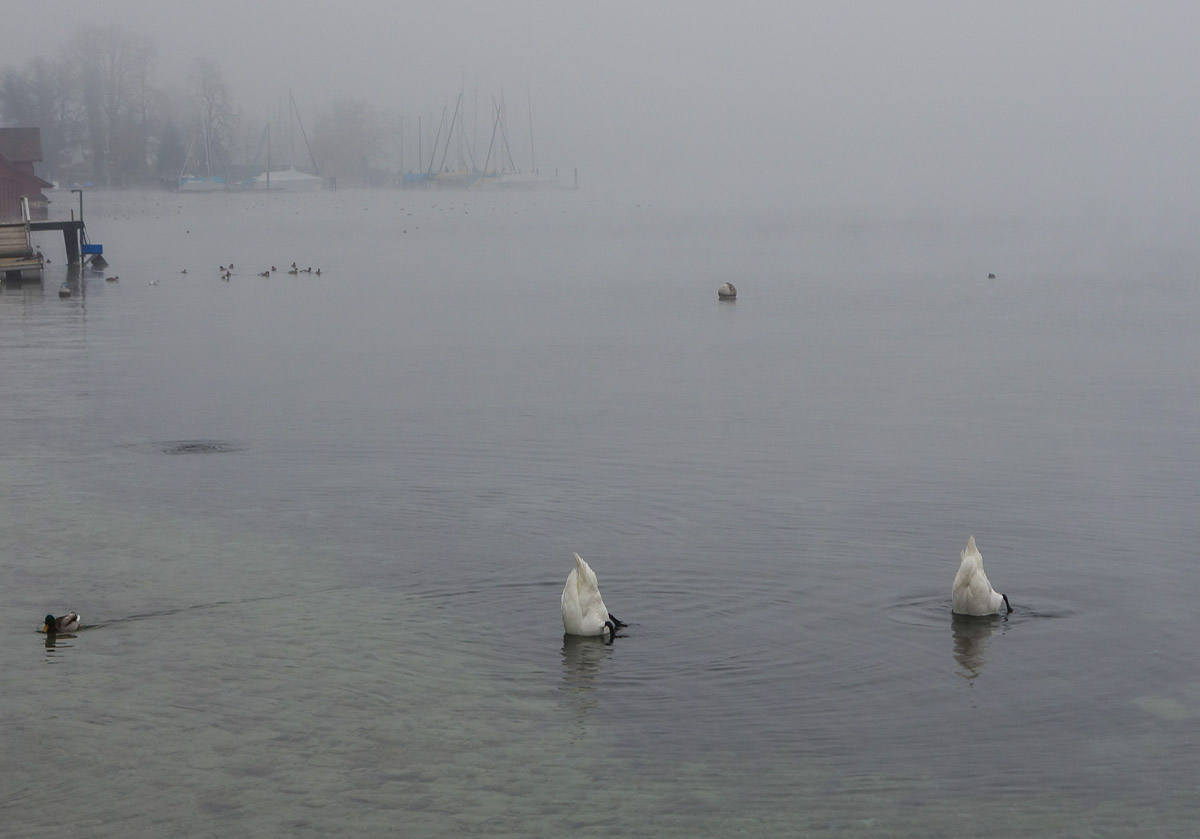 lucerne-switzerland-swans-2