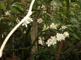 цветение цитрусовых в ботаническом саду МГУ