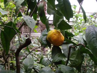 мандарин Уншиу в ботаническом саду МГУ