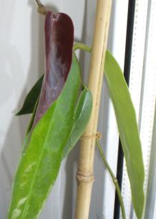 Hoya archibaldiana