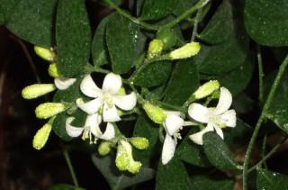 цветение муррайи