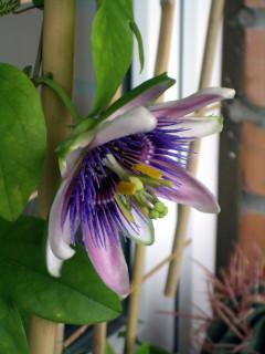 Passiflora x belottii