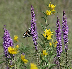 Gayfeather and Maximilian Sunflower, with Monarch