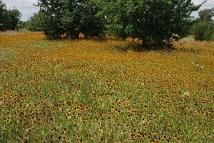 Near-meadow-coneflowers252