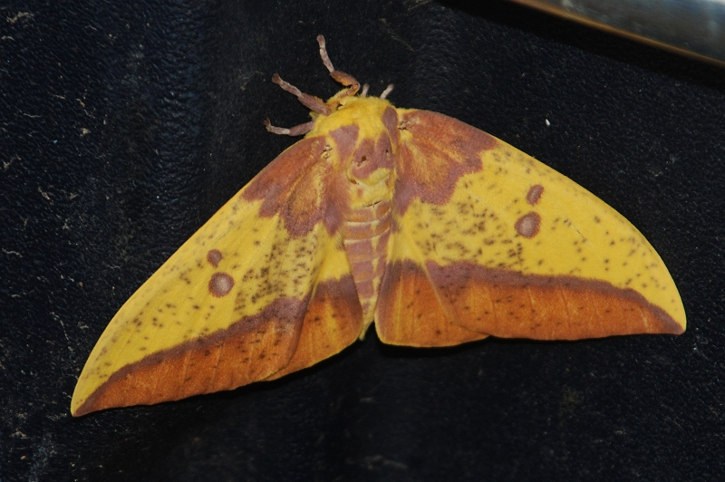 lg-resize_imperial-moth154