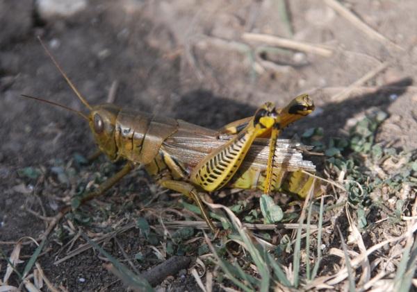 v-lg-resize_grasshopper-f-ovipositing282