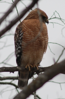 red-shouldered-hawk400