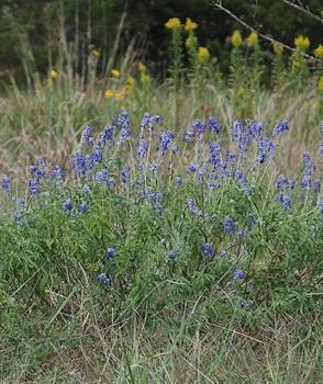 mealy-blue-sage-goldenrod-10-10-14-D80